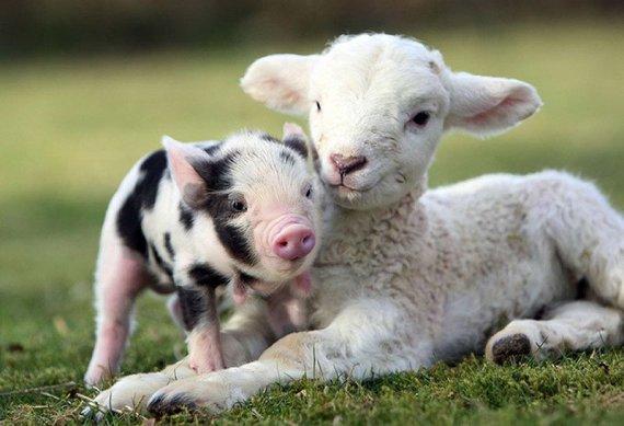 Cute-miniature-pigs-happy-life-14
